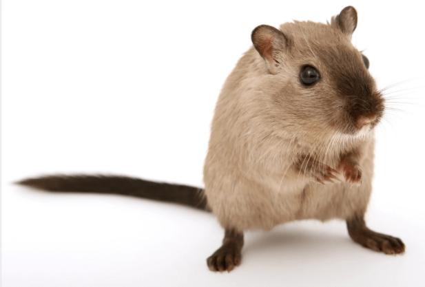דגשים להדברת עכברים